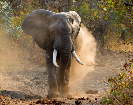 angry elephant: Angry elephant standing on the road. Zambia. South Luangwa National Park. An excellent illustration.