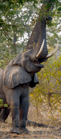 Elephant eats the young shoots of the tree. Zambia.
