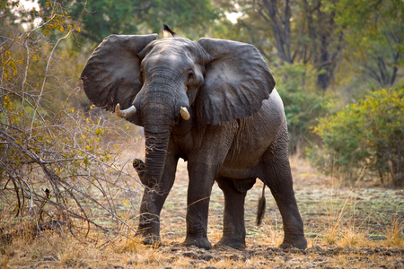 Wild elephant is standing in the bush. Zambia. Stock Photo