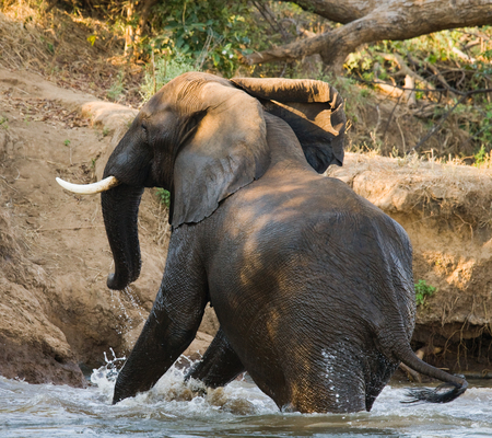 The elephant is in the water. Zambia.