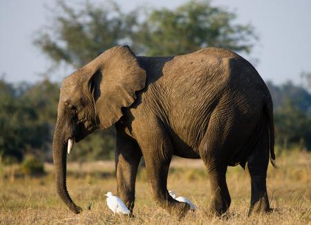 poaching: Elephant and white herons. Zambia.