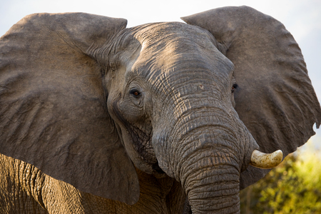 Portrait of the elephant close-up. Zambia.