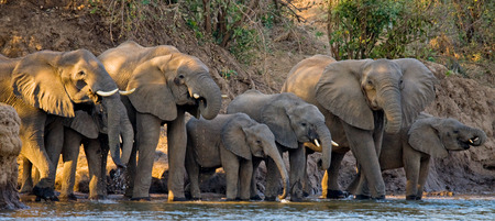 Group of elephants standing near the water. Zambia.