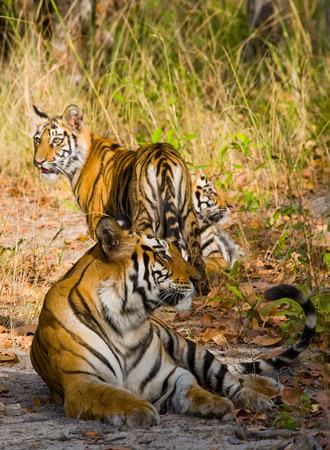 madhya: Three wild tiger in the jungle. India. Stock Photo