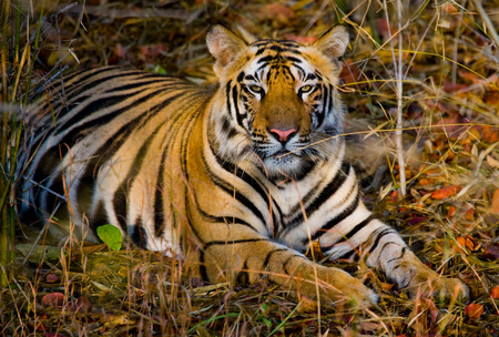 Wild tiger lying on the grass. India.