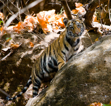 Wild Bengal tiger standing on a big rock in the jungle. India.