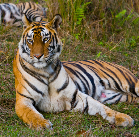 madhya: Wild tiger lying on the grass. India.