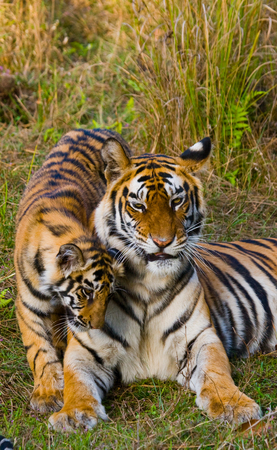 madhya: Two wild tigers are lying on grass. India. Bandhavgarh National Park. Madhya Pradesh. An excellent illustration. Stock Photo