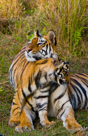 madhya: Two wild tigers are lying on grass. India. Stock Photo
