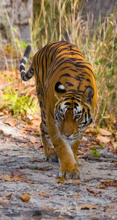 野生のベンガル虎はジャングルの中で道路上に立って。インド。