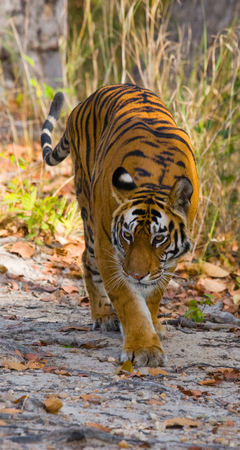 Wild Bengal tiger standing on the road in the jungle. India. Stock Photo