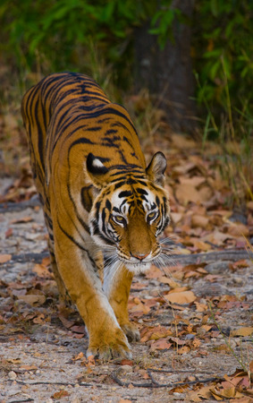 madhya: Wild Bengal tiger standing on the road in the jungle. India. Stock Photo