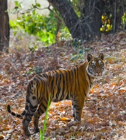 Wild tiger in the jungle. India.