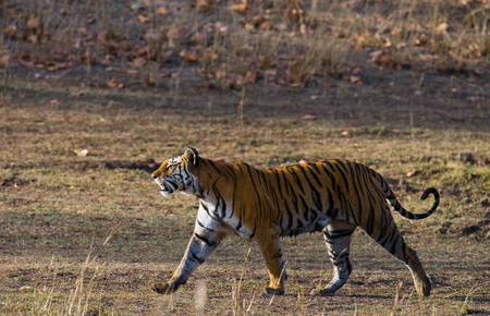 madhya: Wild Bengal Tiger is going on the road in the jungle. India.