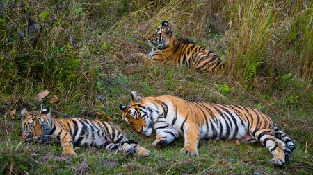 A few wild tigers are lying in the grass. India. Stock Photo