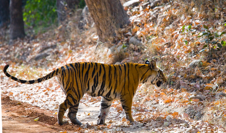 Wild tiger in the jungle. India.
