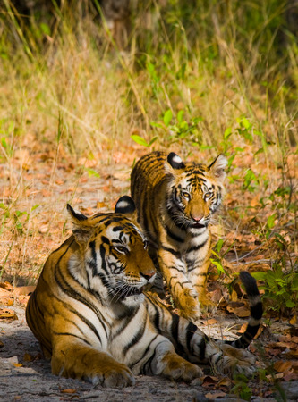 madhya: Two wild tiger on the road. India.