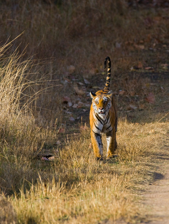 madhya: Wild Bengal Tiger is going on the road in the jungle. India.  Madhya Pradesh.