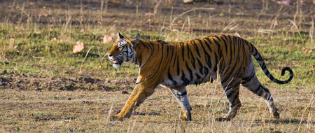 madhya: Wild tiger walking on grass in the jungle. India.