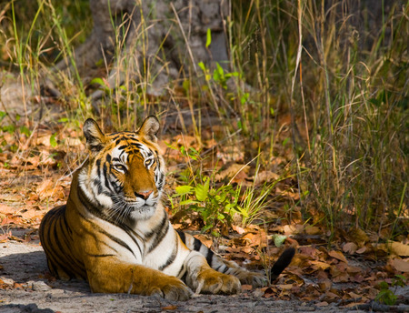 madhya: Wild Bengal Tiger lying on the road in the jungle. India. Stock Photo