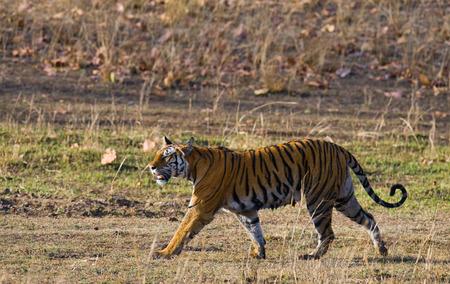 madhya: Wild tiger in the jungle. India.