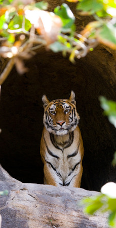 madhya: Wild Bengal Tiger in the cave. India.