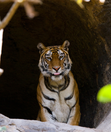 Wild Bengal Tiger in the cave. India.