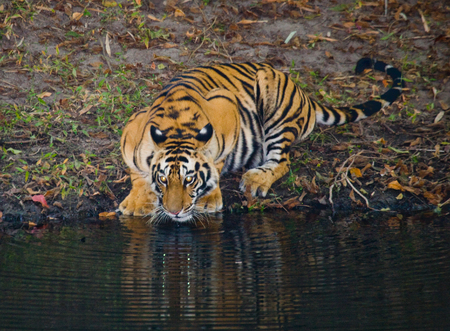 Wild Bengal Tiger drinking water from a pond in the jungle. India.