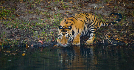 madhya: Wild Bengal Tiger drinking water from a pond in the jungle. India.