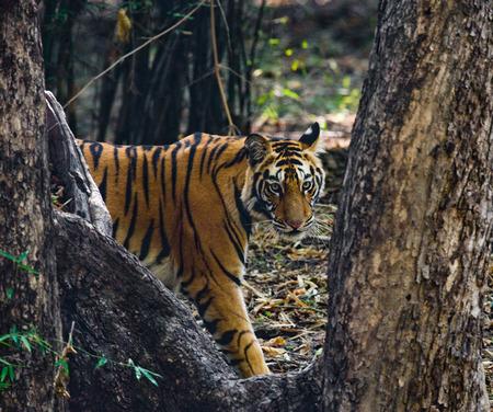 ジャングルの中で野生のトラ。インド。バンダヴガル国立公園。
