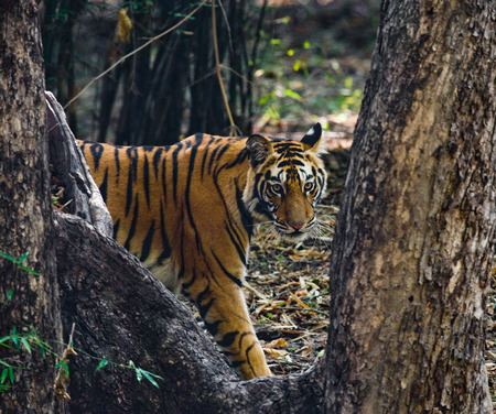 정글에서 야생 호랑이입니다. 인도. Bandhavgarh 국립 공원.