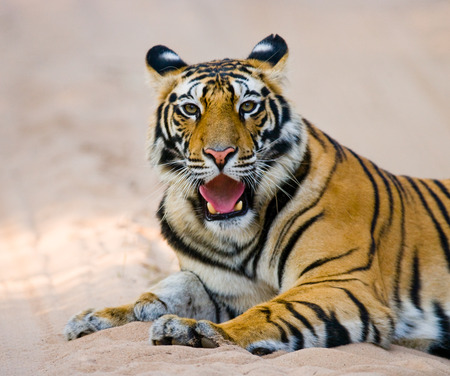 Wild Bengal Tiger lying on the road in the jungle. India. Bandhavgarh National Park. Madhya Pradesh. An excellent illustration. Stock Photo