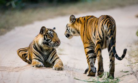Two wild tiger on the road. India.