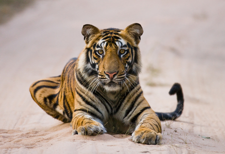 Wild Bengal Tiger lying on the road in the jungle. India. Stock Photo