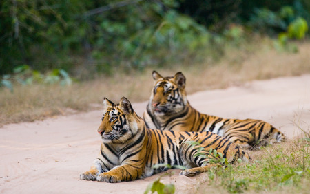 madhya: Two Bengal tiger lying on the road in the jungle. India.