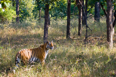 madhya: Wild tiger in the grass. India.