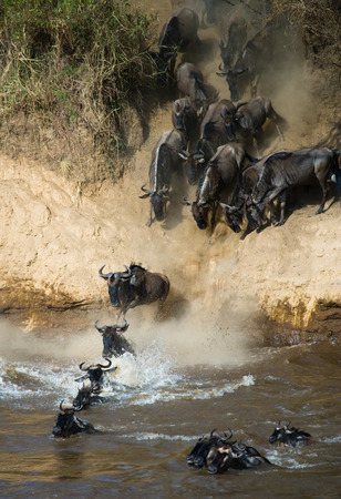 Wildebeest jumping into Mara River. Great Migration. Kenya. Tanzania.