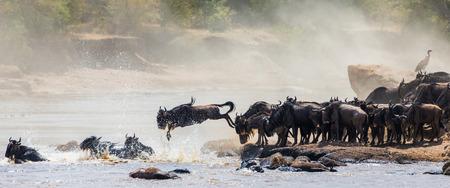 Wildebeest Springen in Mara-Fluss. Great Migration. Kenia. Tansania. Standard-Bild - 65137850