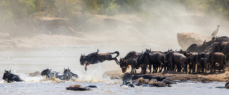 Wildebeest springen in Mara rivier. Great Migration. Kenia. Tanzania.