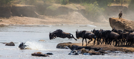 Wildebeest jumping into Mara River. Great Migration. Kenya. Tanzania.