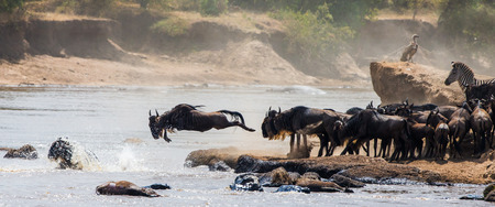 wildebeest: Wildebeest jumping into Mara River. Great Migration. Kenya. Tanzania.