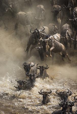 Wildebeests는 Mara 강을 건너고 있습니다. 훌륭한 마이그레이션. 케냐. 탄자니아.