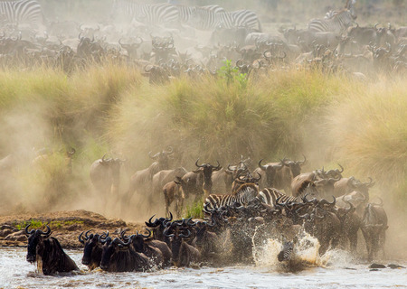 Wildebeests are crossing Mara river. Great Migration. Kenya. Tanzania. Stock Photo