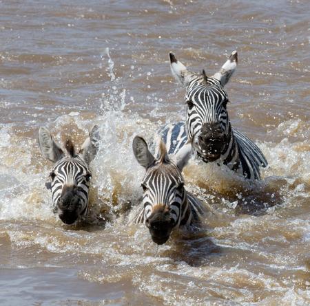 maasai mara: Group zebra crossing the river Mara. Kenya. Tanzania. National Park. Serengeti. Maasai Mara. An excellent illustration.