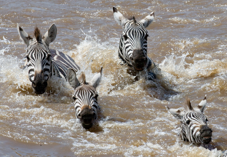 Group zebra crossing the river Mara. Kenya. Tanzania. National Park. Serengeti. Maasai Mara. An excellent illustration.