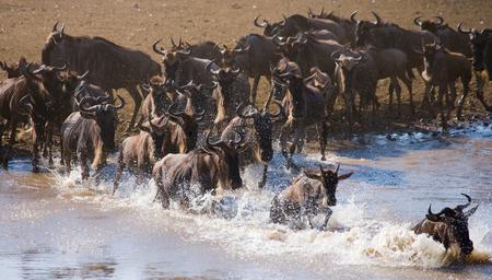 Wildebeests are runing to the Mara river. Great Migration. Kenya. Tanzania.