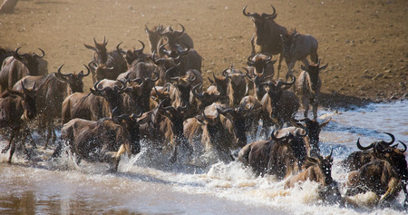tanzania antelope: Wildebeests are runing to the Mara river. Great Migration. Kenya. Tanzania.