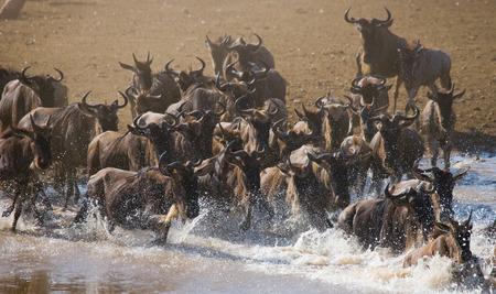 runing: Wildebeests are runing to the Mara river. Great Migration. Kenya. Tanzania.