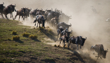 Wildebeests running through the savannah. Great Migration. Kenya. Tanzania.