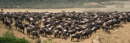 Big herd of wildebeest in the savannah. Great Migration. Kenya. Tanzania.